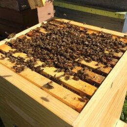 Essaim d'abeilles du Vercors