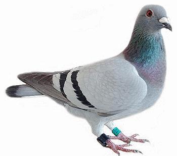 http://www.farmili.com/blog/wp-content/uploads/2013/05/pigeon-voyageur.png