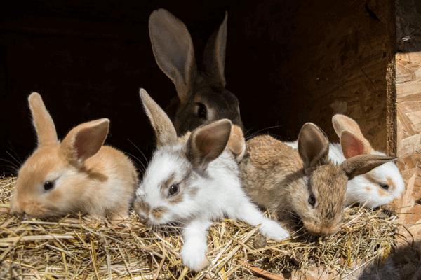 une bande de lapins